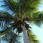 Coconut tree, Carribean Cruise, New Year's Eve