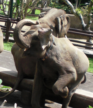 Elephants in Bali