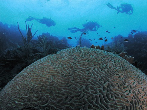 Large brain coral in Roatan